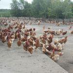 Kippencache bij Winschoten